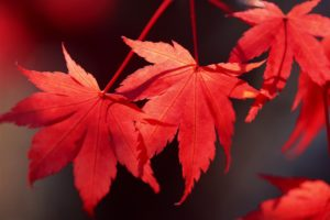red-maple-wallpaper for mobile