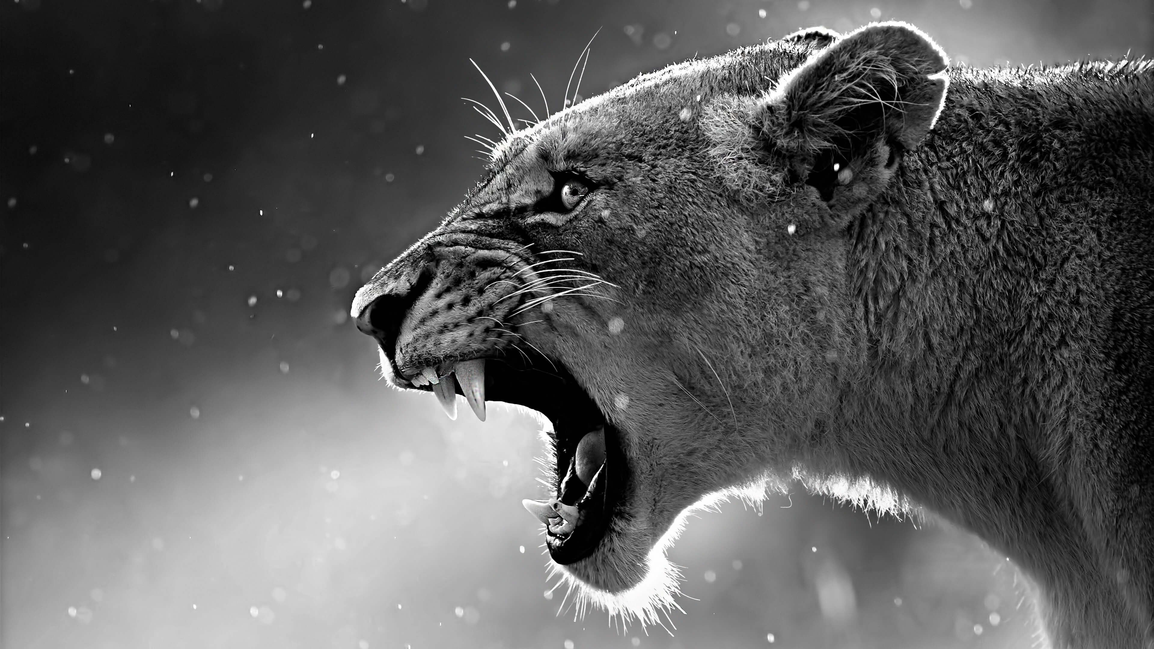 4k Resolution Wallpapers Lion