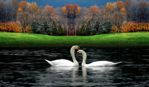 Two-lovely-white-swans-on-the-lake-wallpapers of nature