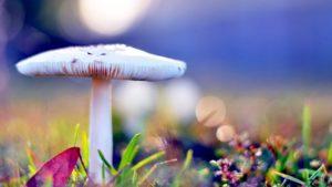 White-mushroom-wonderful-wallpaper for desktop hd