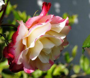 beautiful-rose-flowers-bicolor-colors-petals-nature-flowers image