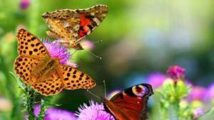 butterfly-images nature