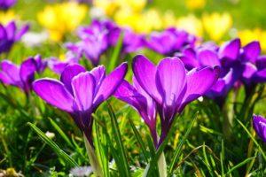purple-pics of nature